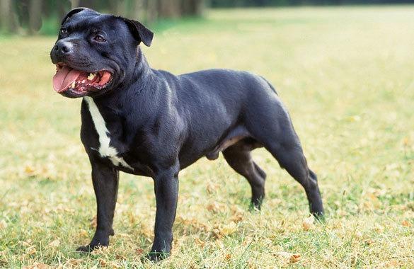 Staffordshire Bull Terrier: