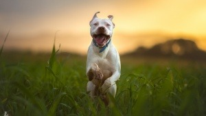 pitbull store online - pitbull shop
