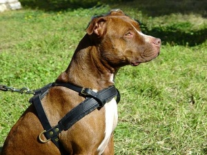 pitbull harness with handle